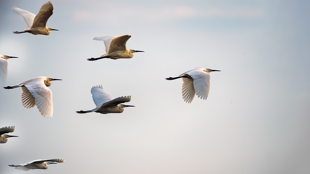 birds following the leader